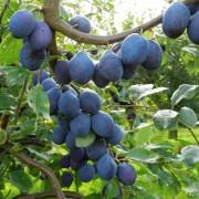 Zwetschen vom Obsthof Gut Stubbe