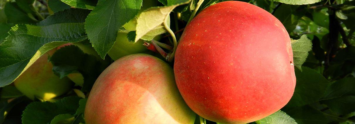 Äpfel vom Obsthof Gut Stubbe