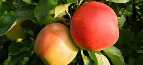 Äpfel von Gut Stubbe