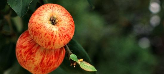 Frühäpfel von Gut Stubbe