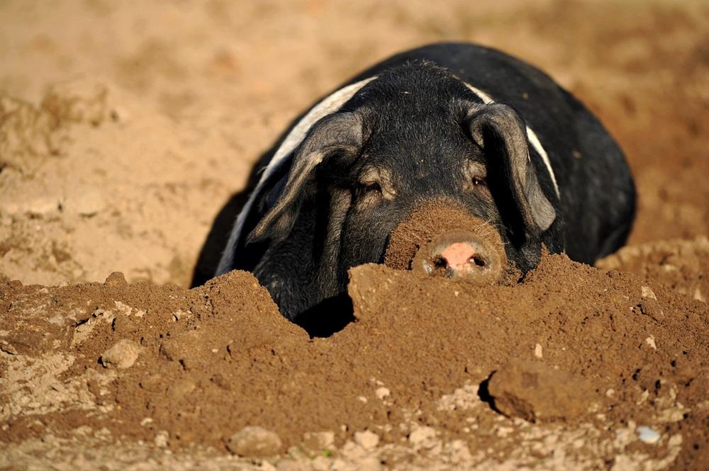 Angler Sattelschwein beim Dösen in der Sonne auf Gut Stubbe