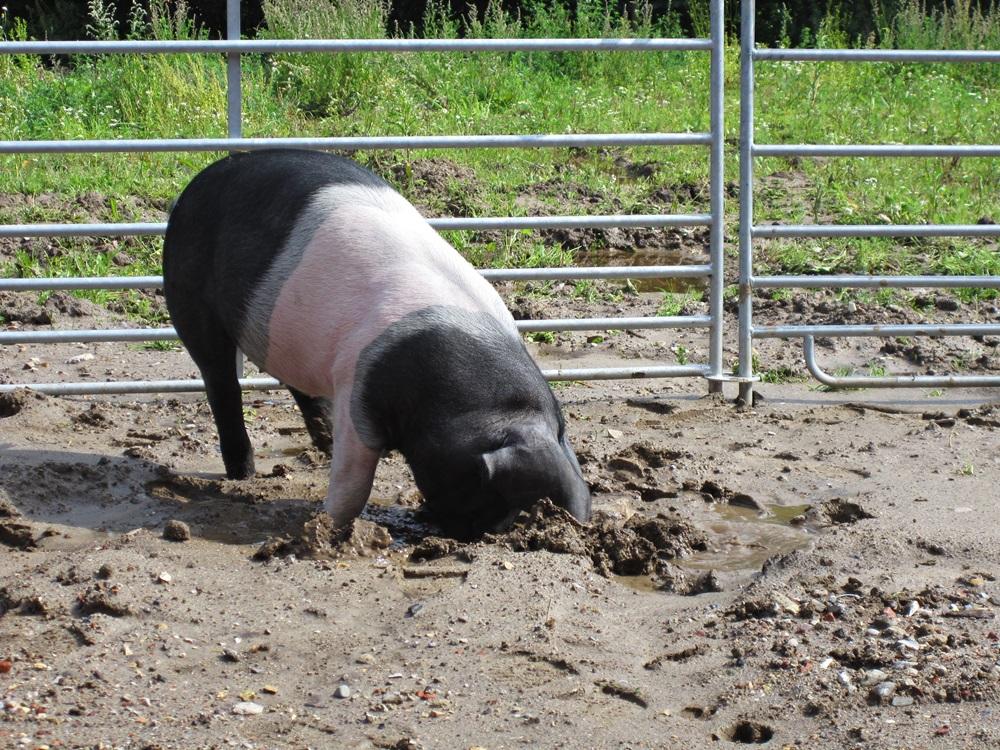 Auslauf Angler Sattelschwein auf Gut Stubbe