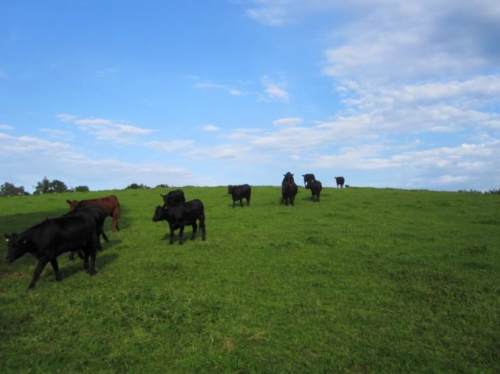 Aberdeen Angus Rinder auf den Weiden des Gut Stubbe