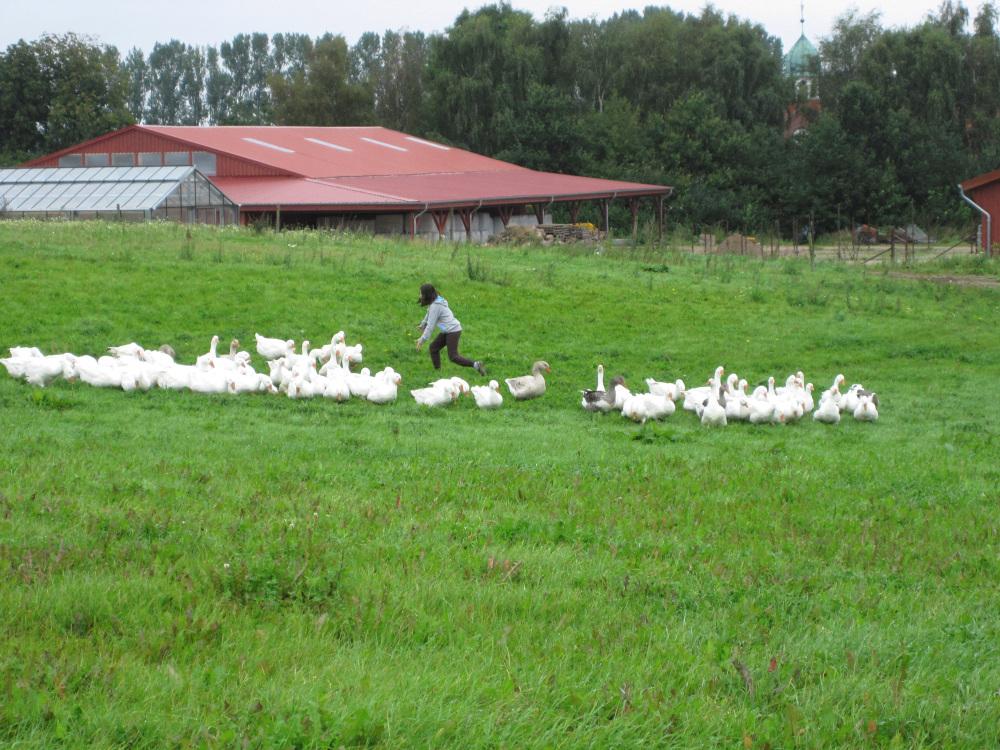 Gänse beim täglichen Futtergang auf den Wiesen des Gut Stubbe