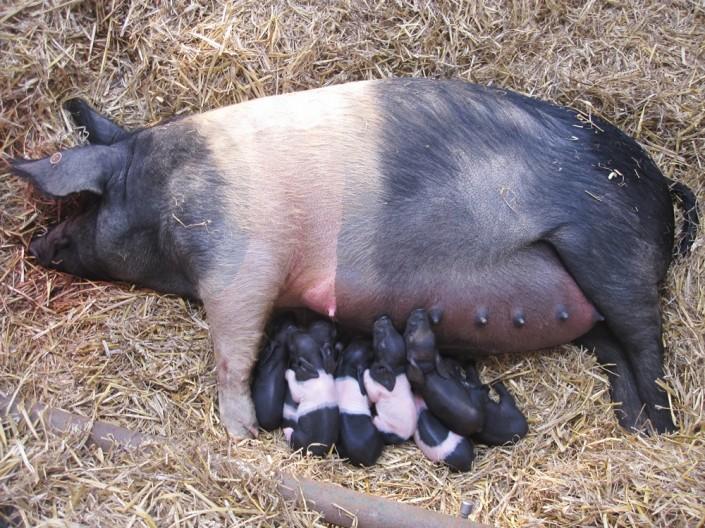 Nachwuchs beim Angler Sattelschwein auf Gut Stubbe