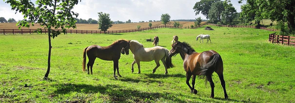 Pferde auf Gut Stubbe