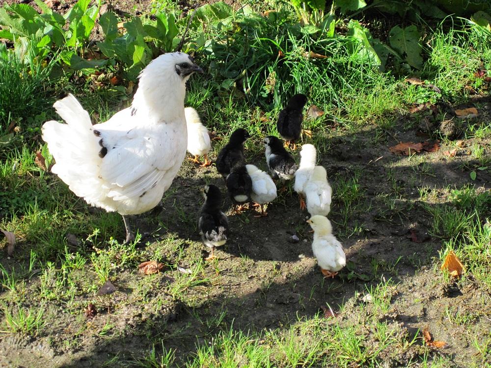 Artgerechte Hühnerhaltung auf Gut Stubbe