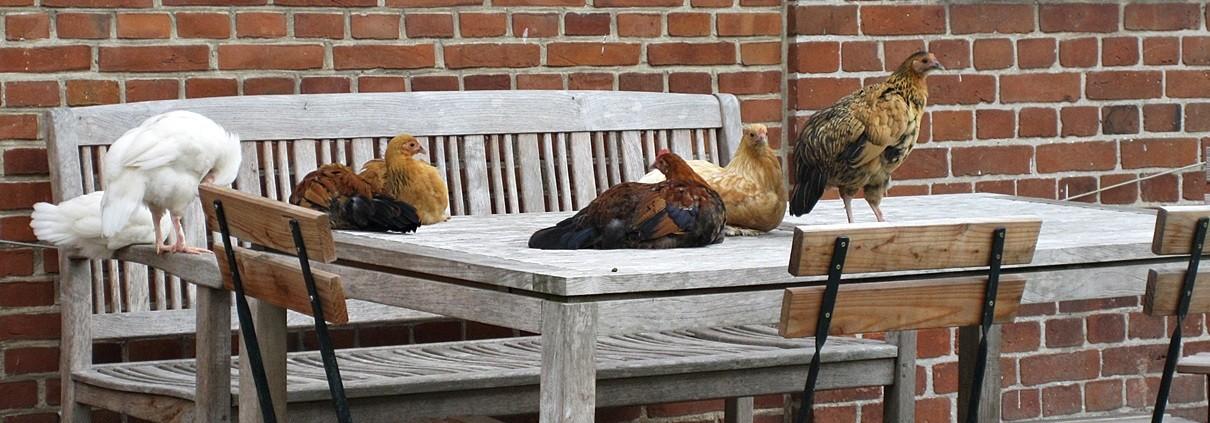 Hühnerhaltung auf Gut Stubbe