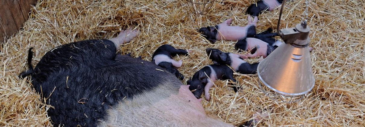 Gut Stubbe Landwirtschaftsbetrieb - Angler Sattelschwein