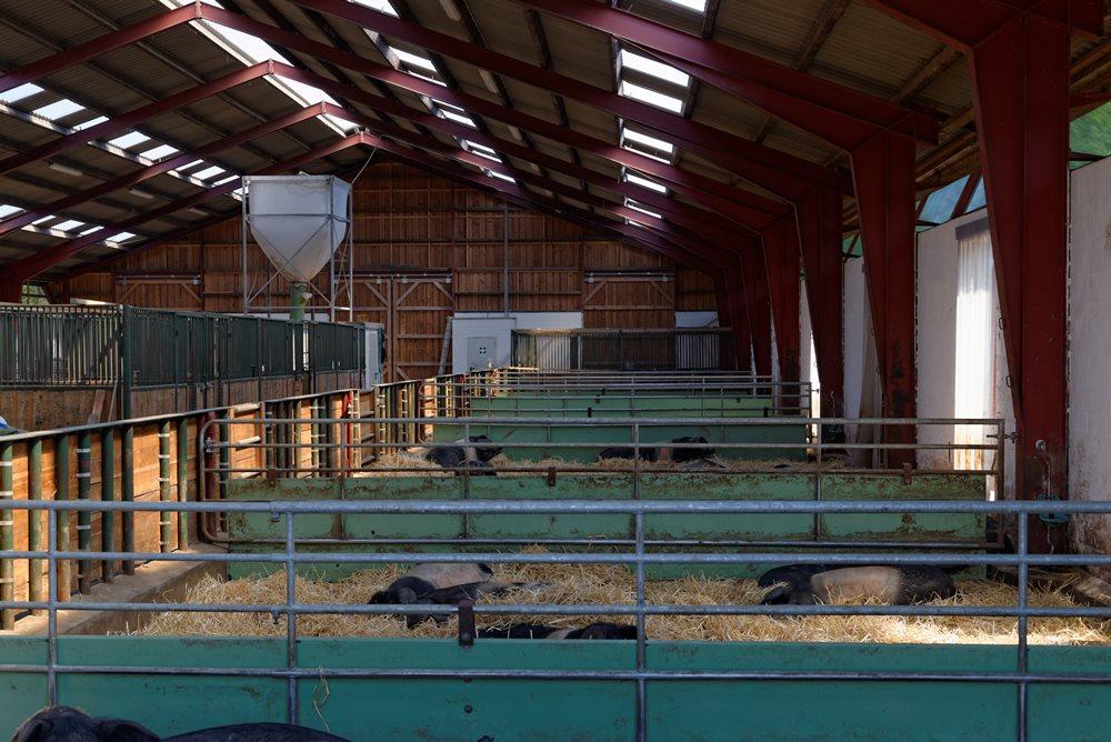 Angler Sattelschwein Stallungen mit viel Platz auf Gut Stubbe
