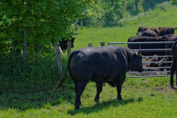 Aberdeen Angus Rinderzucht auf Gut Stubbe